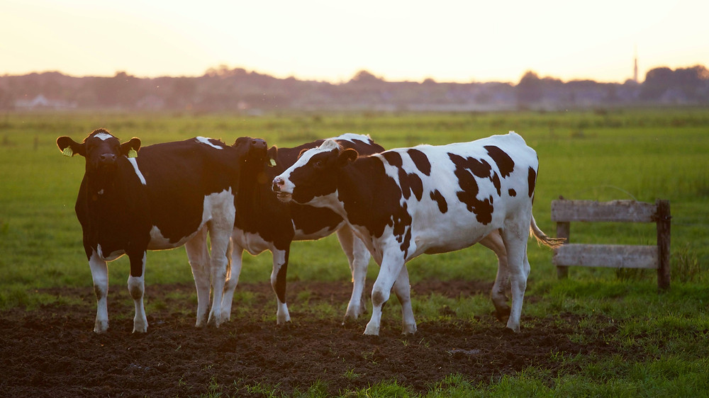 Agricultural Cows