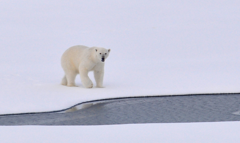 Polar Bear on Melting Ice