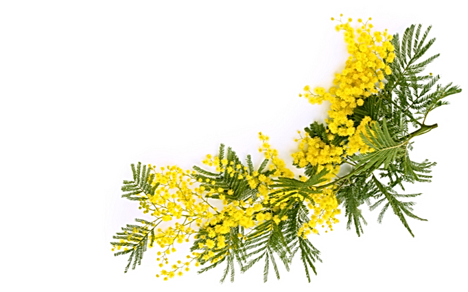 mimosa bas.png