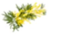 mimosa haut.png