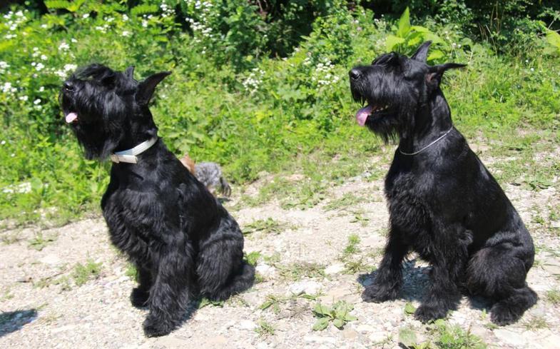 Гара и Веста упражняются