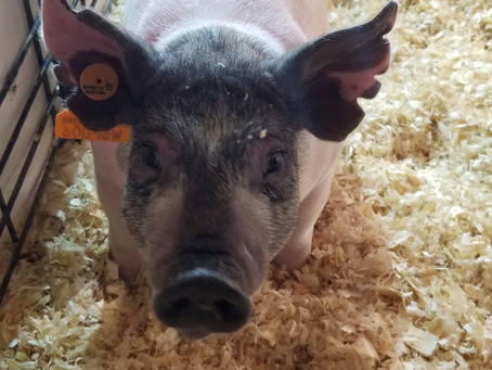 Backdrop Bound Pig Sale in Osceola highlights state's flourishing show pig industry