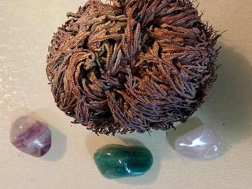 Resurrection Plant/Rose of Jericho Manifestation Kit
