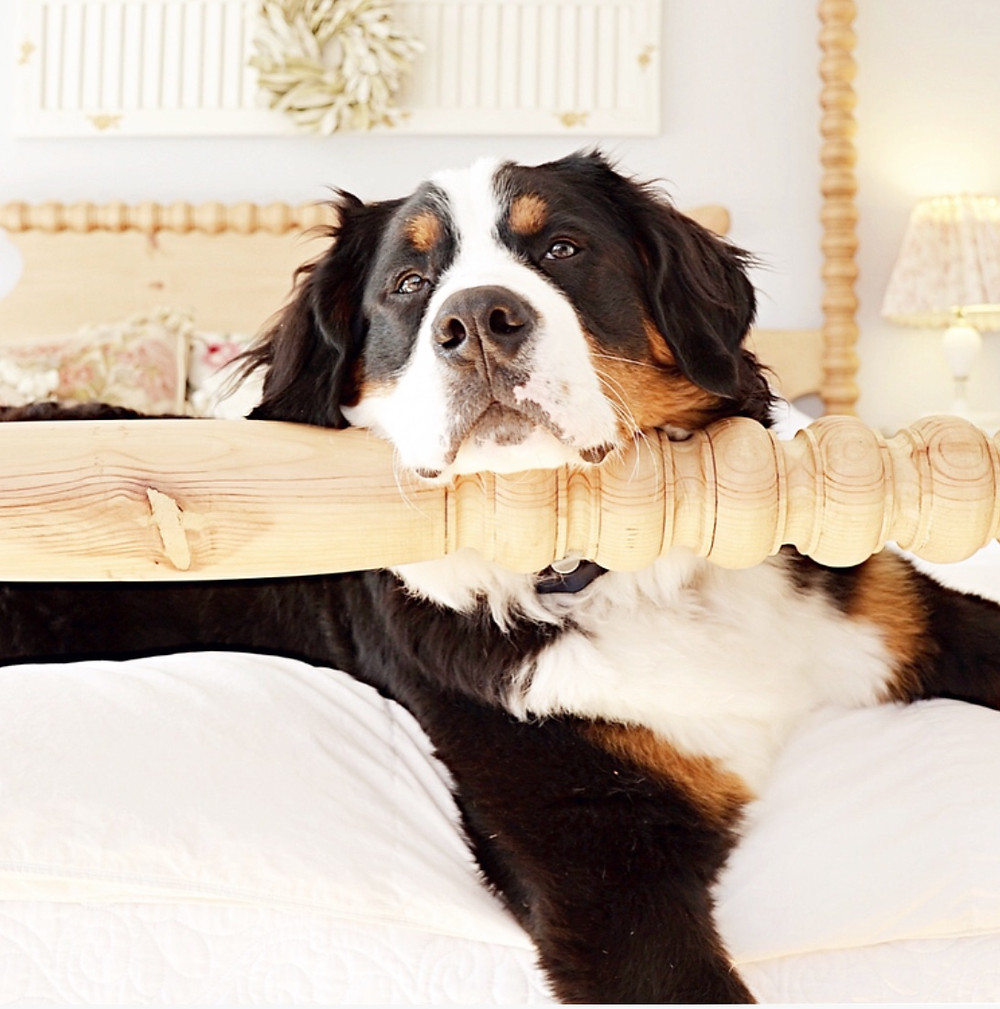Cozy Master Bedroom with Bernese Mountain Dog.