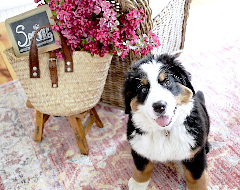 Bernese Mountain Dog puppy sitting next to pink flowers in a basket.