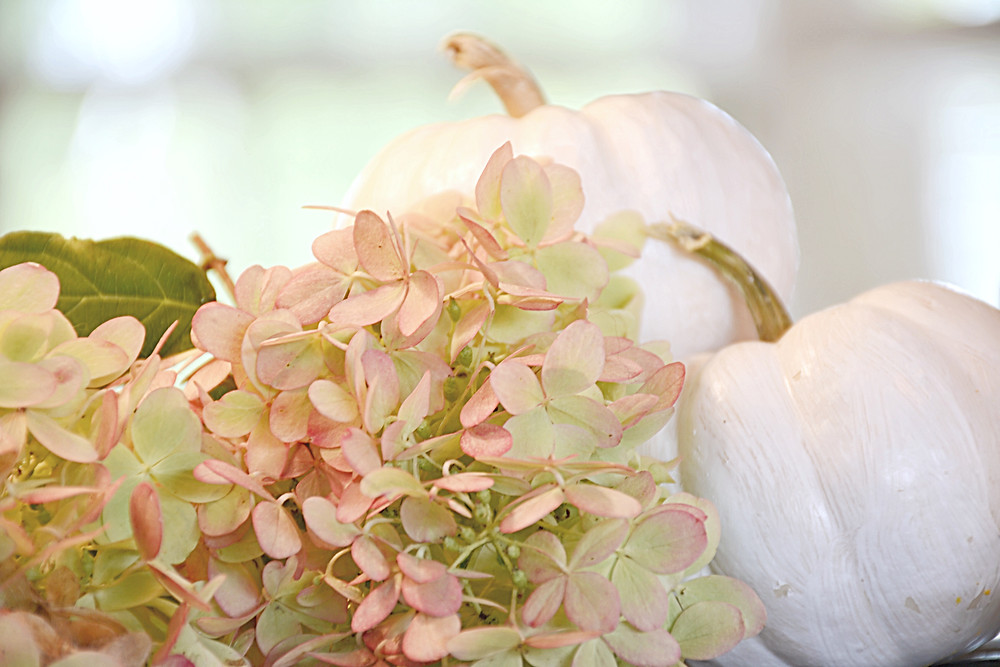 little white painted pumpkins with pink hydrangeas.
