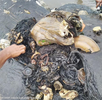 Dead sperm whale found in Indonesia had about 5.9kgs of plastic waste in the stomach containing 115