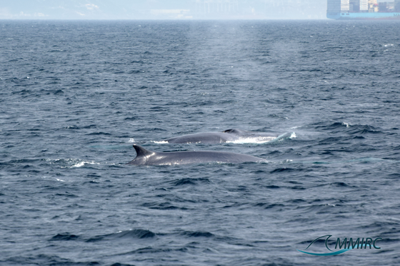 Three Fin Whales Spotted next to Punta del Carnero