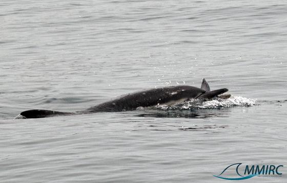 Common dolphins & flying fish feeding frenzy