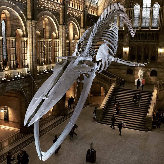 'Hope' the blue whale skeleton