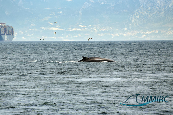 Fin whales spotted on Sunday and Monday on the edge of the Bay!