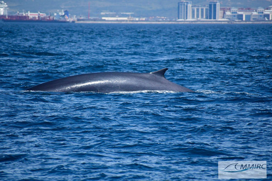 Fin Whales crossing from Europa point towards P Carnero.