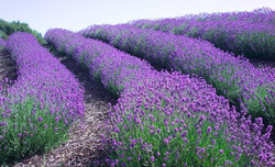 12_76_18---Lavender_web