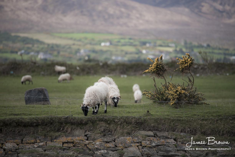 Sheep at Blennerville