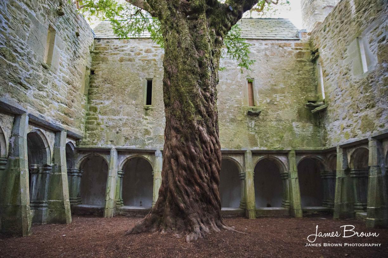 Yew Tree at Muckross Abbey