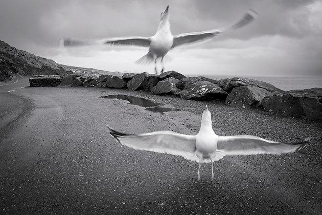 Slea Head Seagulls