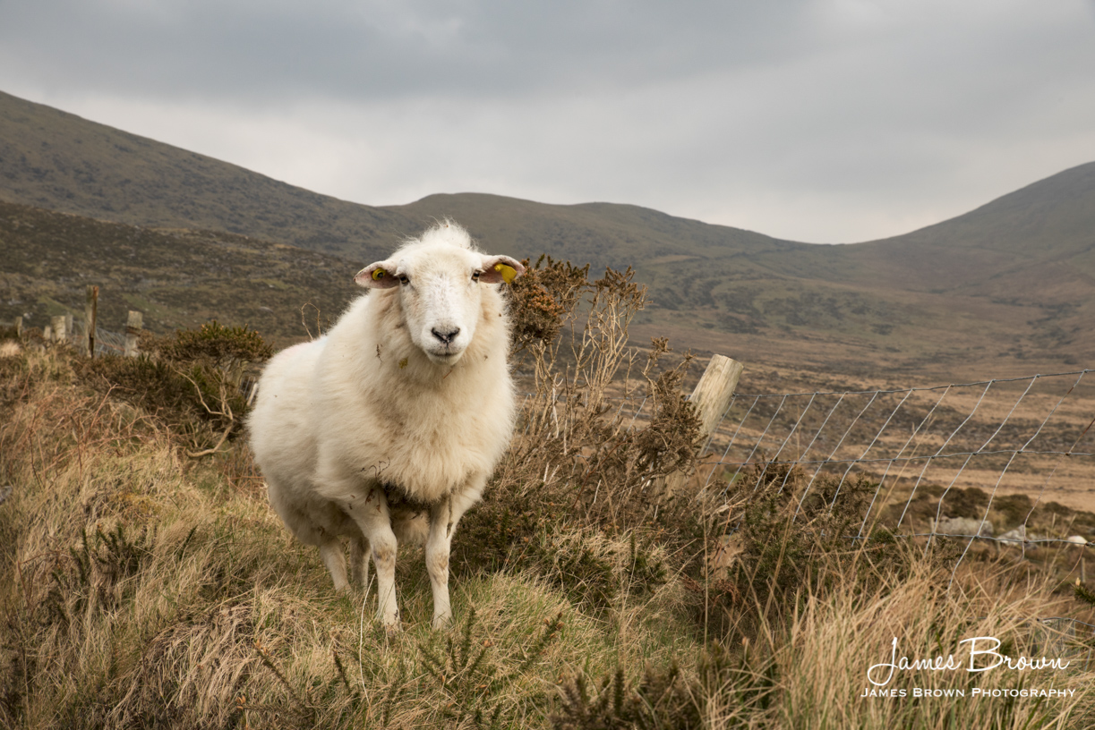 Sheep Of Conor Pass