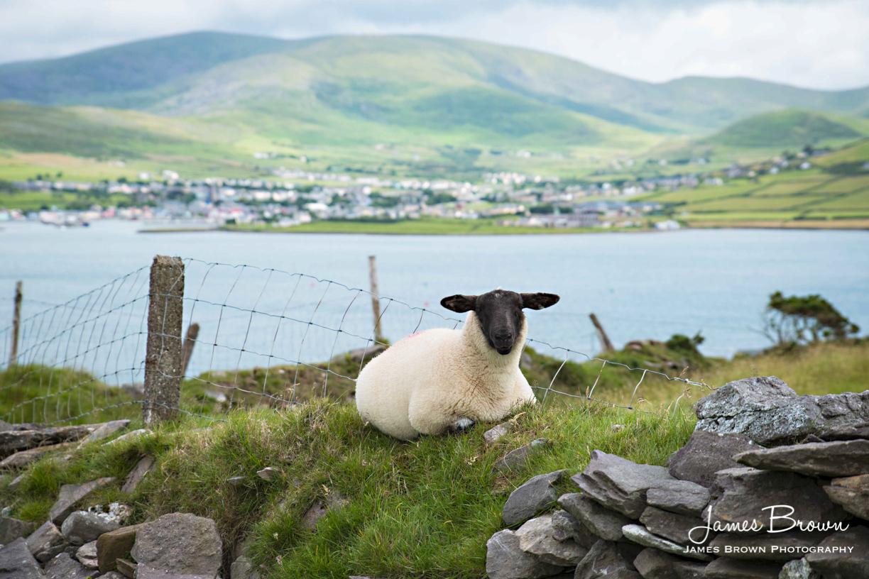 Dingle Sheep