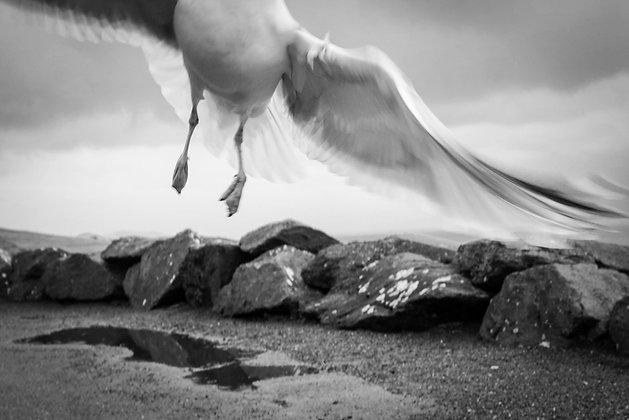 Slea Head Seagull
