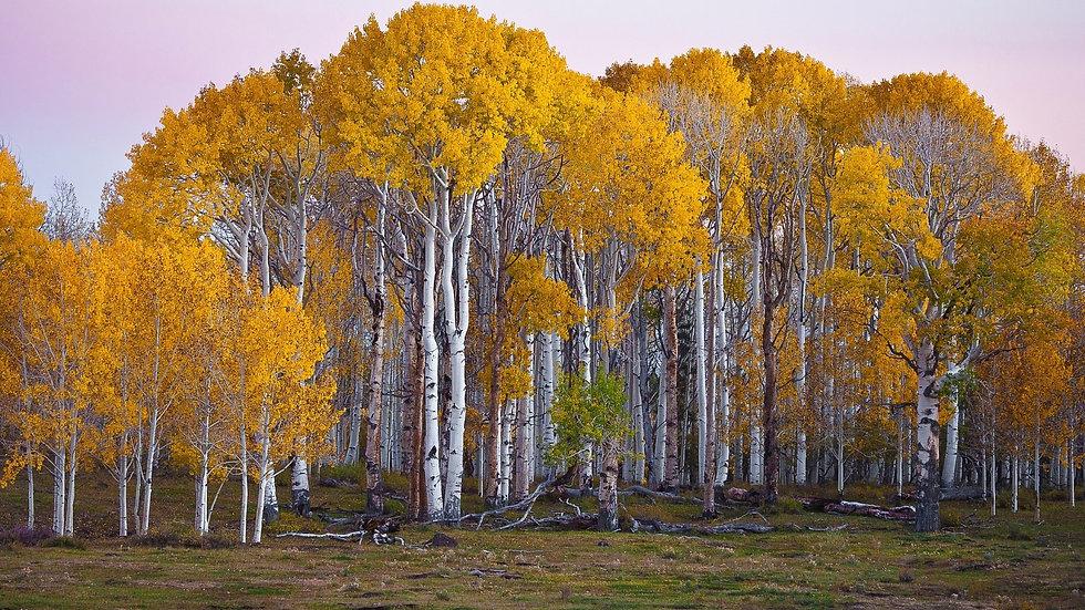 wp4677578-birch-trees-autumn-wallpapers.jpg