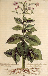 tobaco plant drawing