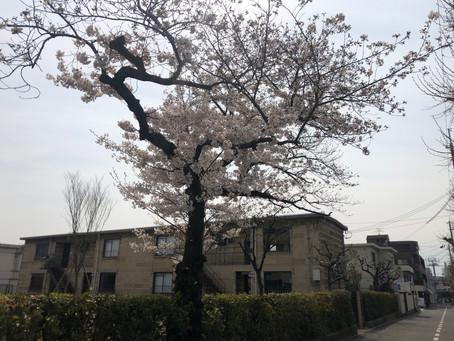 桜の季節にOPEN FARM