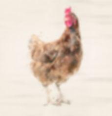 Square-hen.jpg