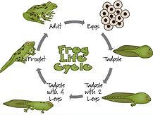 Life cycle.jpg