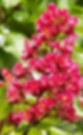 naturopathe conseillé fleurs de bach cannes
