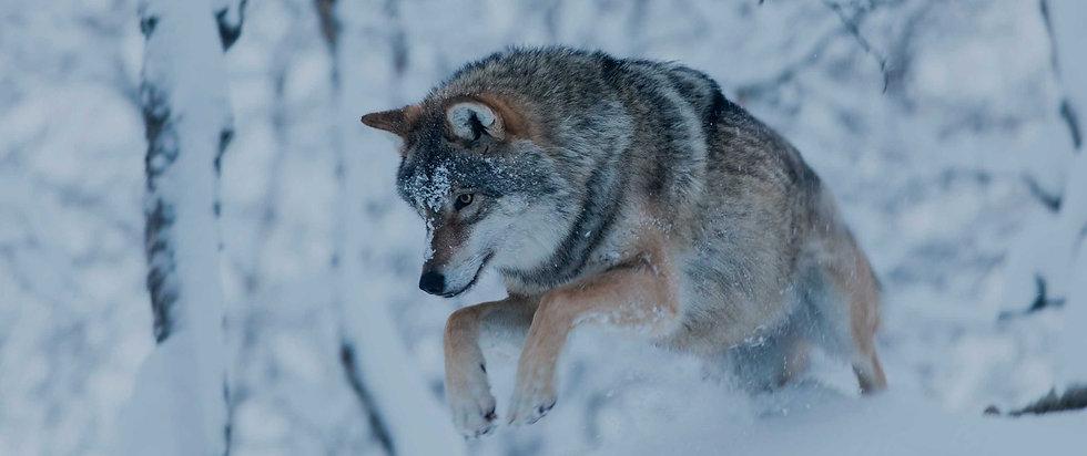 wolves-1-1500x630.jpg