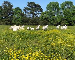 Goat Heaven!