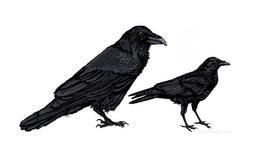 Common Raven (Corvus corax) vs Carrion Crow (Corvus corone)