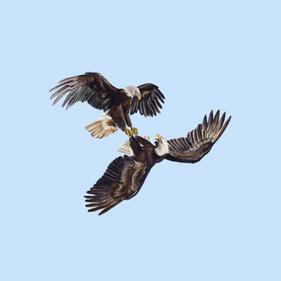 Talon Locking Bald Eagles