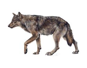 Coastal Wolf (Canis lupus columbianus)