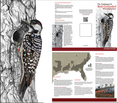 Red-Cockaded Woodpecker Trifold (Dryobates borealis)