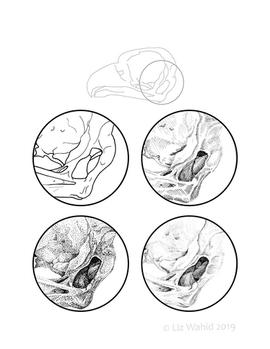 Great Horned Owl Skull Ear Opening
