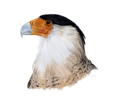 Northern Crested Caracara (Caracara cheriway) Colorized