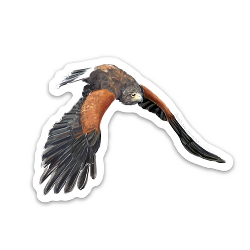 Harris's Hawk in Pursuit Sticker