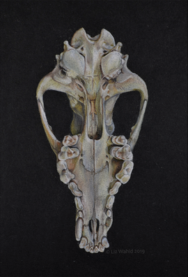 Cyote Cranium Ventral view (Canis latrans)