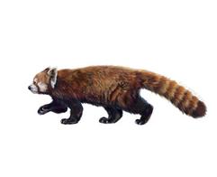 Red panda (Ailurus styani)