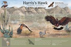 Harris's Hawk Interpretive Panel (Parbuteo unicintus)