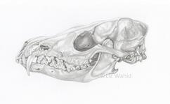 Fox Skull (Vulpes vulpes)