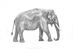 Adult Male Asian Elephant (Elephas maximus)