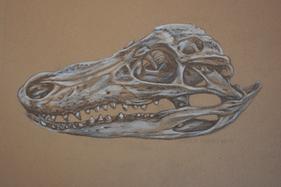 Juvenile Alligator Skull (Alligator mississippiensis)