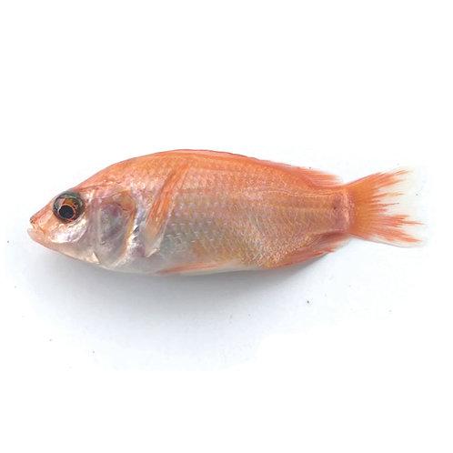 Alevino 5 - 7 gramos