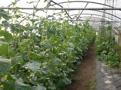 Jardin de Cocagne - Fleurs de tomates