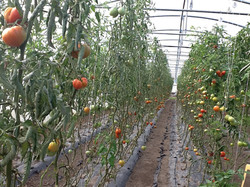 Jardin de Cocagne - Des tomates…