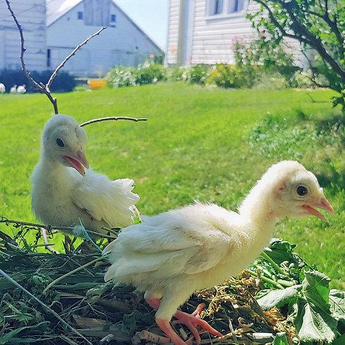 Midget White Heritage Poults