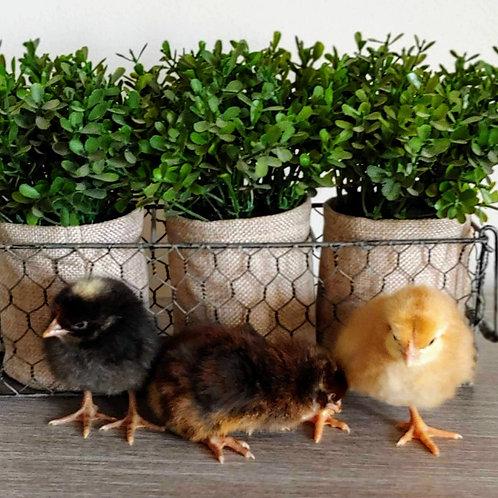 Gray Broiler Chicks