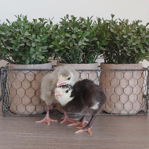 Slate Turkey Poults